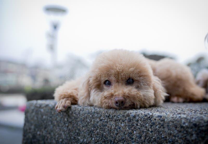 Pudla pies śliczny zdjęcia stock