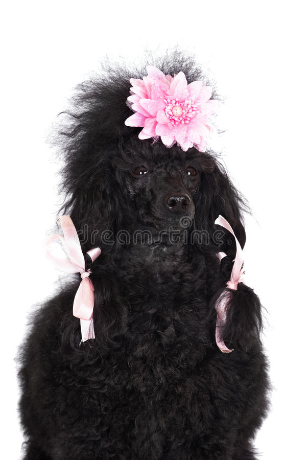 Pudla pies obraz stock