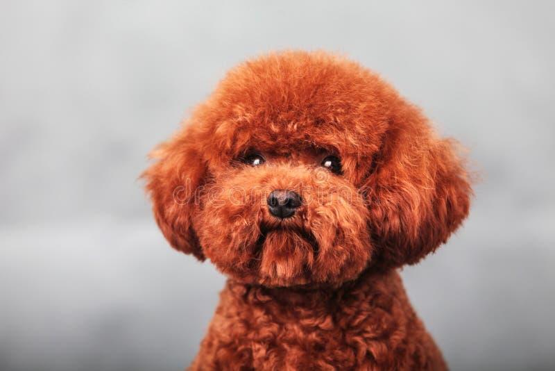 Pudla pies zdjęcie royalty free
