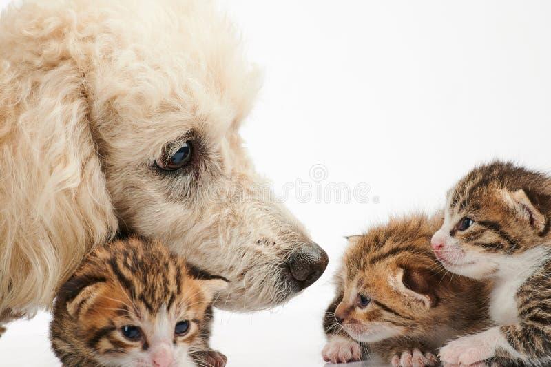 Pudla pies bierze opiekę mała kiciunia obrazy stock