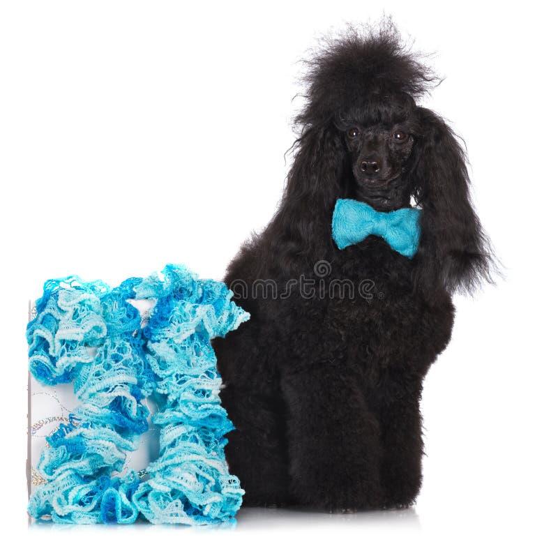 Pudla pies z łęku krawatem zdjęcia royalty free