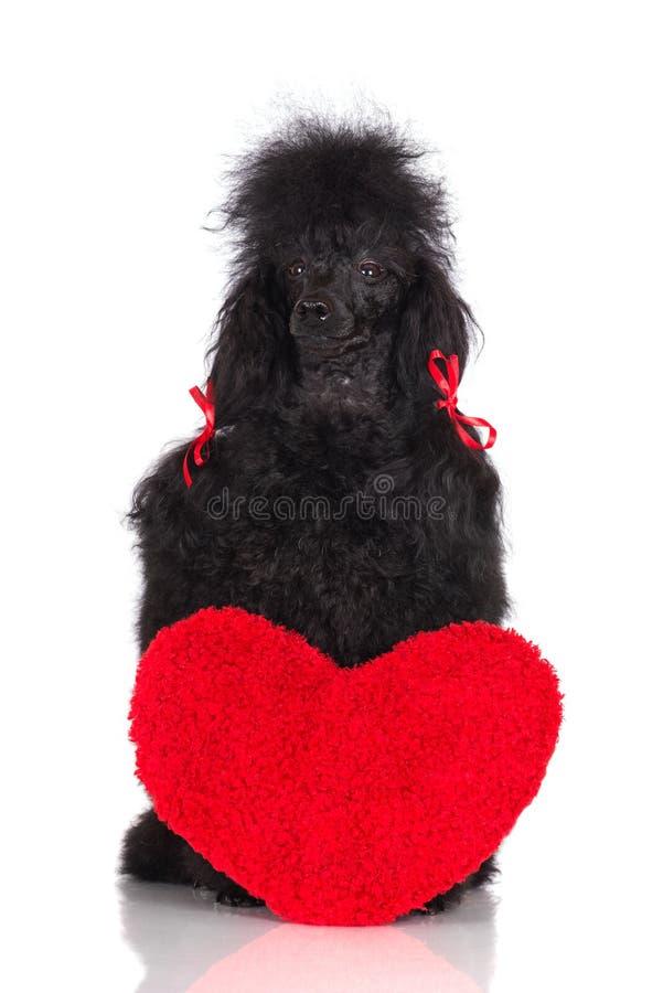 Pudla pies z czerwonym sercem obraz royalty free