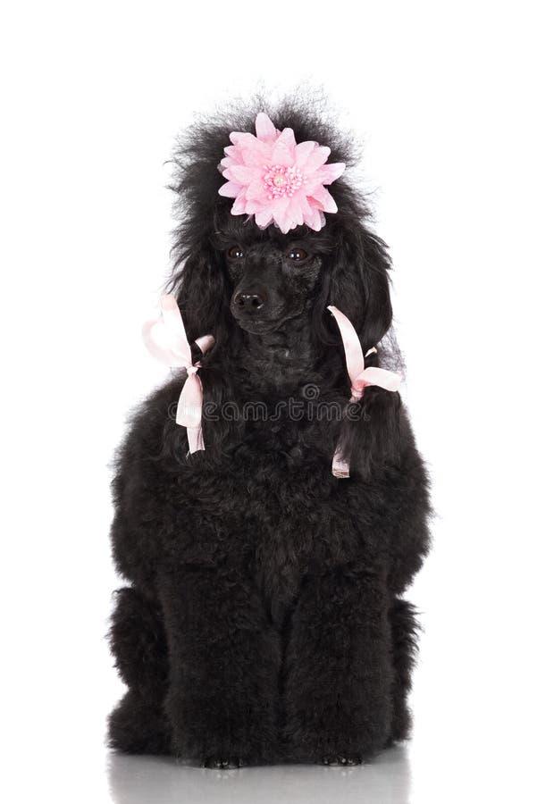 Pudla pies z uczesaniem obraz stock