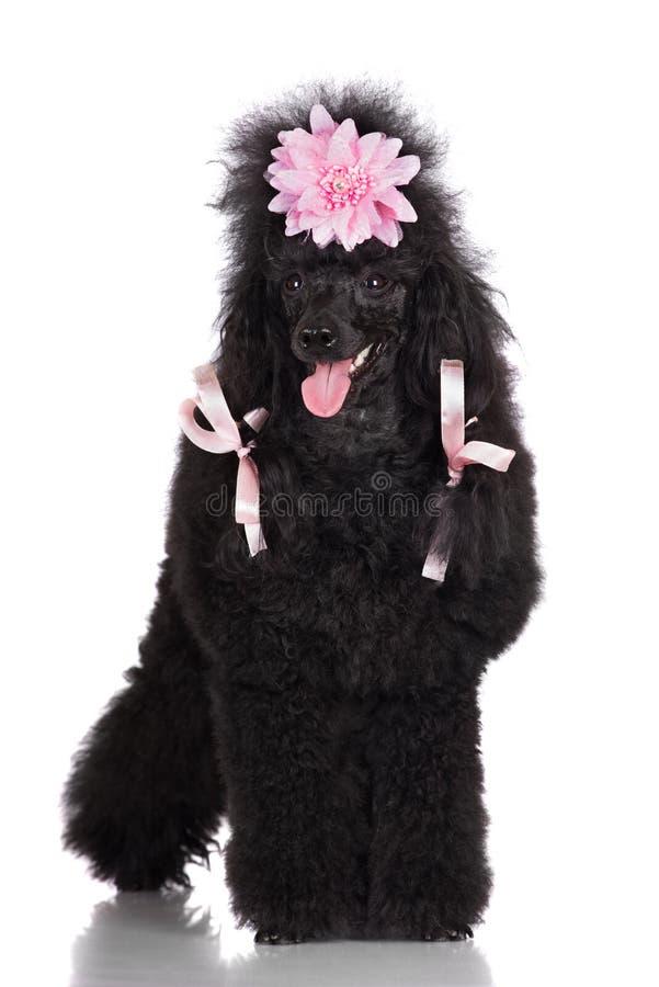 Pudla pies z uczesaniem obraz royalty free