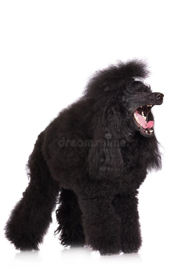 Pudla psa ziewanie fotografia stock