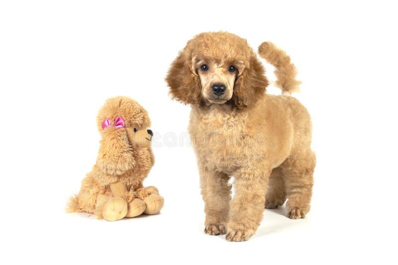 Pudla szczeniaka koloru morelowi stojaki i spojrzenia w kamerę Kłamać obok faszerującego zabawkarskiego psa fotografia royalty free