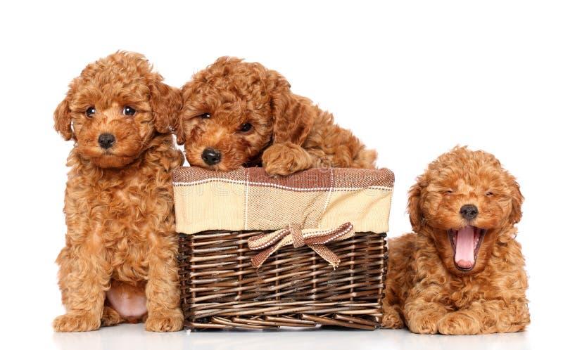 Pudli zabawkarscy szczeniaki fotografia royalty free