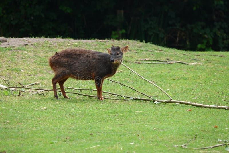 Pudu,在草的一头小南美鹿 免版税库存图片