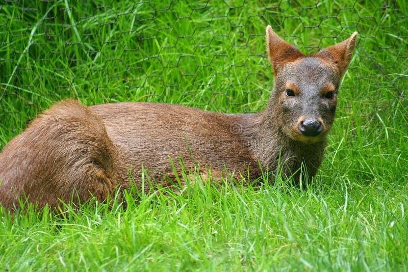 Pudu Deer royalty free stock photos