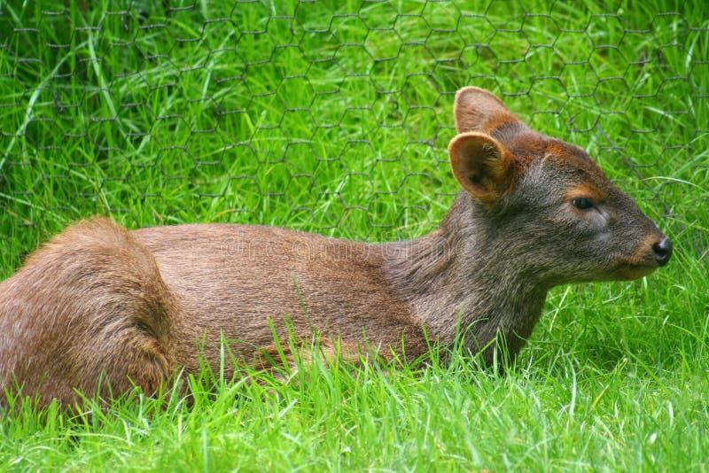 Pudu Deer stock photo