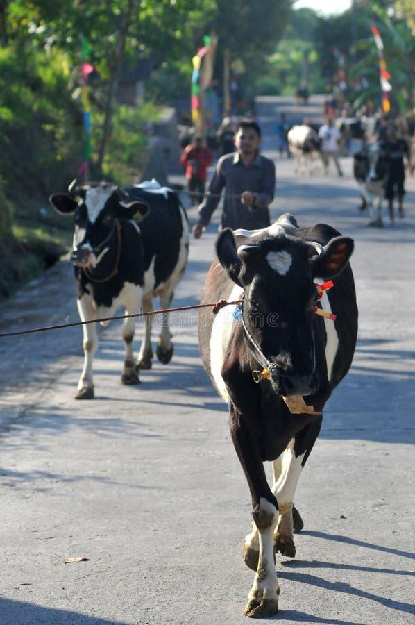 Pueblo de la vaca en Boyolali, Indonesia imágenes de archivo libres de regalías