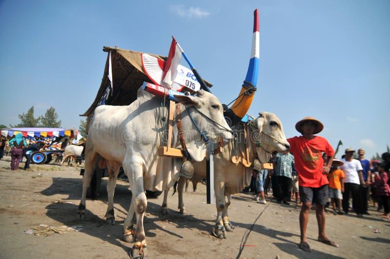 Pueblo de la vaca en Boyolali, Indonesia fotos de archivo libres de regalías