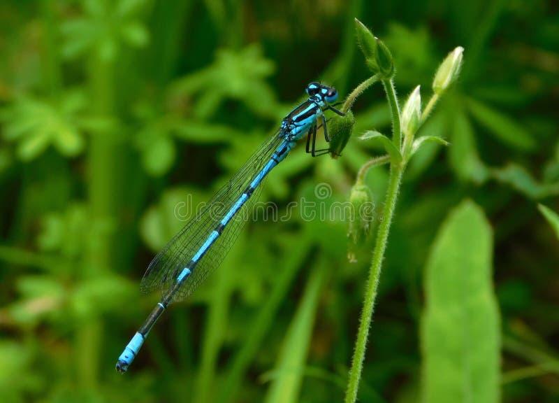 Puella de Coenagrion, damselfly dos azuis celestes foto de stock royalty free