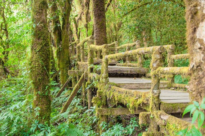 Puente de madera cubierto con el musgo verde enorme en Doi Inthanon Thail fotografía de archivo