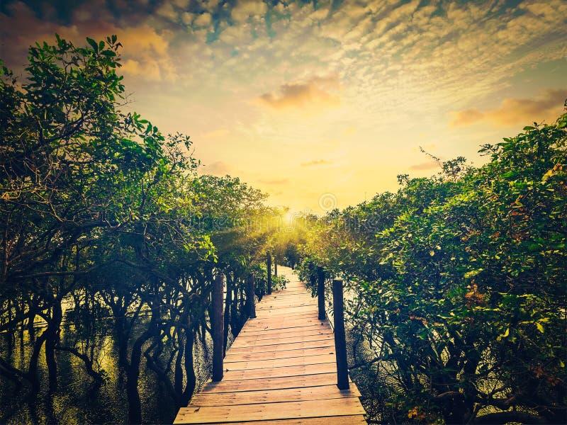 Puente de madera en la selva tropical inundada de los árboles del mangle imagen de archivo