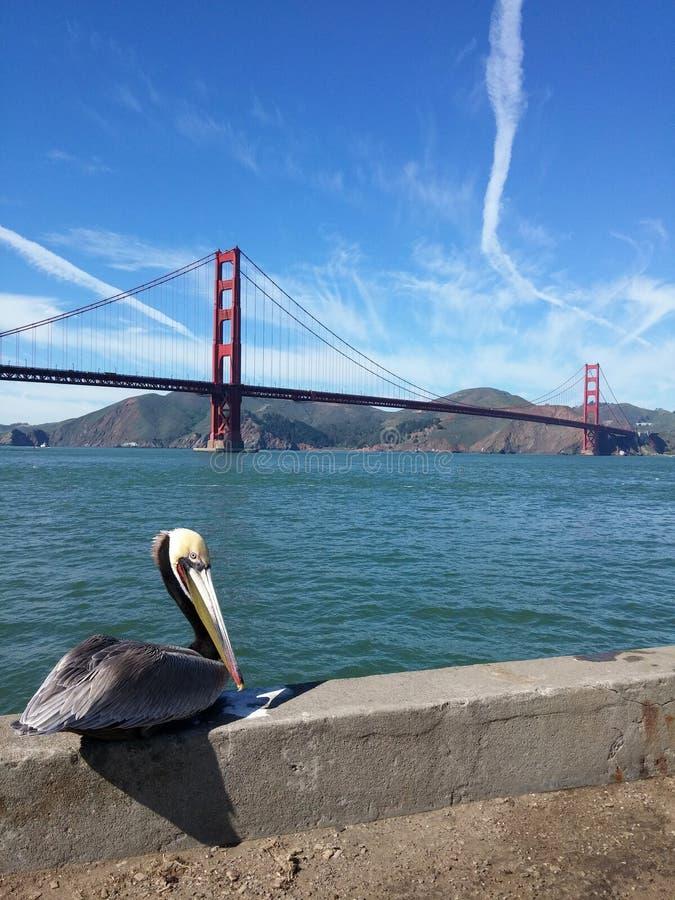 Puente Golden Gate con el pelícano fotografía de archivo