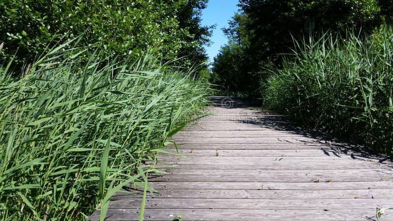 Puente natural y de madera con las cañas verdes jovenes imagenes de archivo