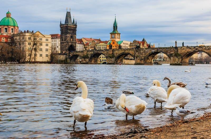 Puente y cisnes de Charles en el río de Moldava en Praga Checo Republi foto de archivo