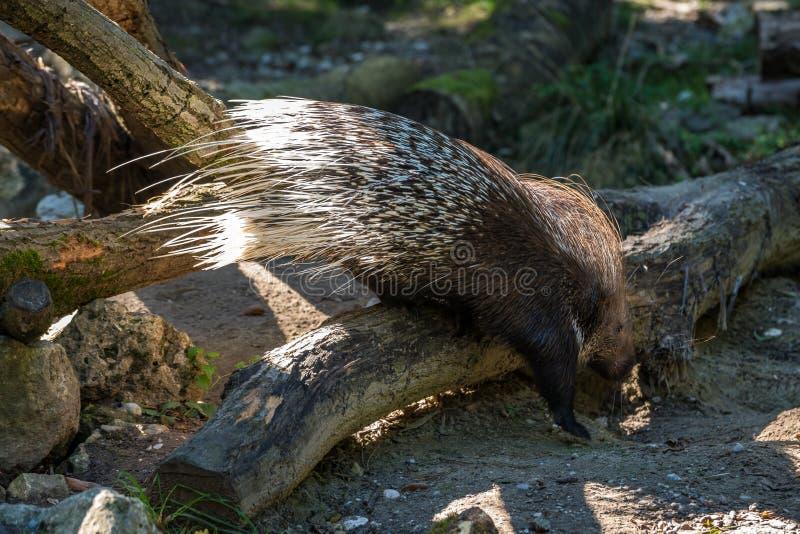 Puerco espín con cresta indio, Hystrix indica en un parque zoológico alemán imagen de archivo libre de regalías