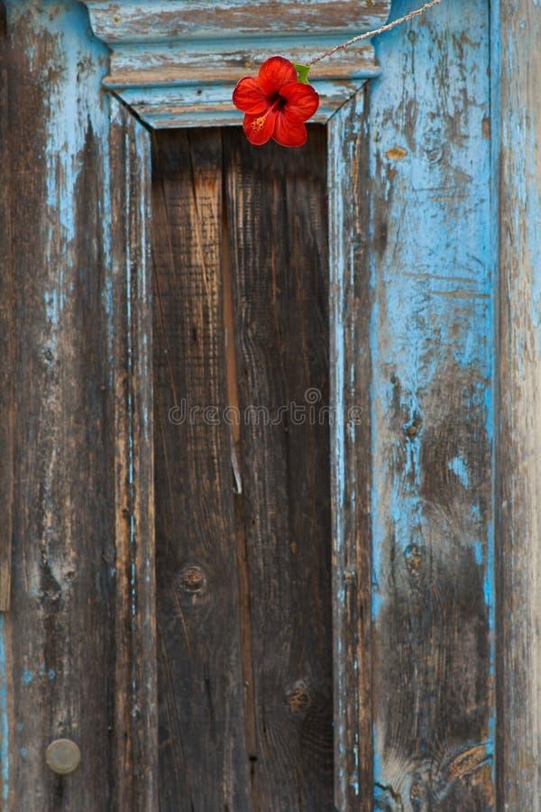 Puerta de madera vieja con la flor de Hibiskus imagenes de archivo