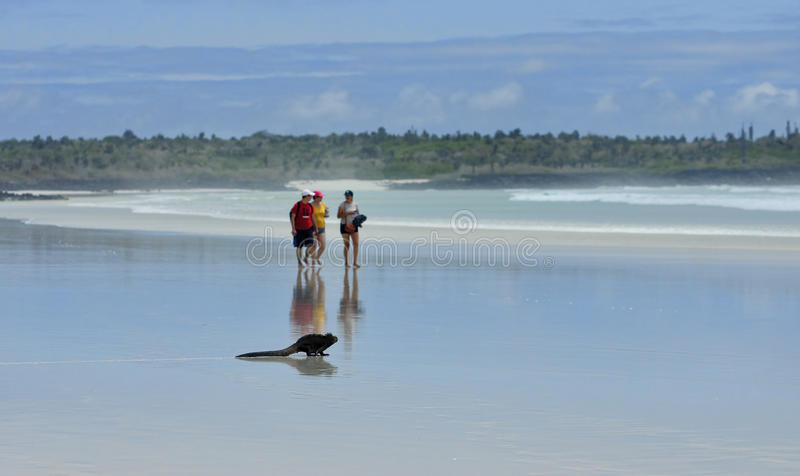 PUERTO AYORA, ECUADOR - NOVEMBER 16, 2015: Tourists and iguana o royalty free stock images