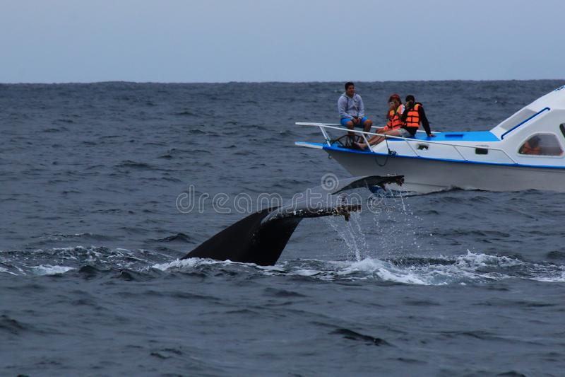 Puerto López, Ecuador, 9-7-2019: La cola de una ballena jorobada, novaeangliae del Megaptera, al lado de un viaje de observación  fotografía de archivo libre de regalías