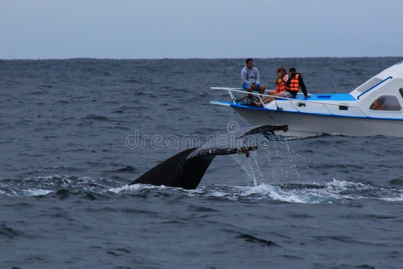 Puerto Lopez, Ecuador, 9-7-2019: La coda di una megattera, megaptera novaeangliae, accanto ad un giro di sorveglianza della balen fotografia stock libera da diritti