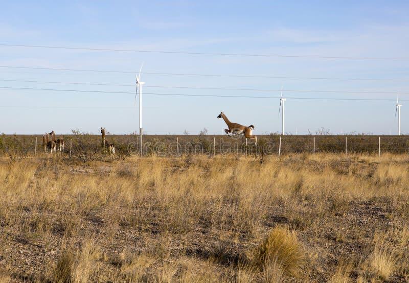Puerto Madryn Argentinië Alpacas over de weg royalty-vrije stock afbeelding