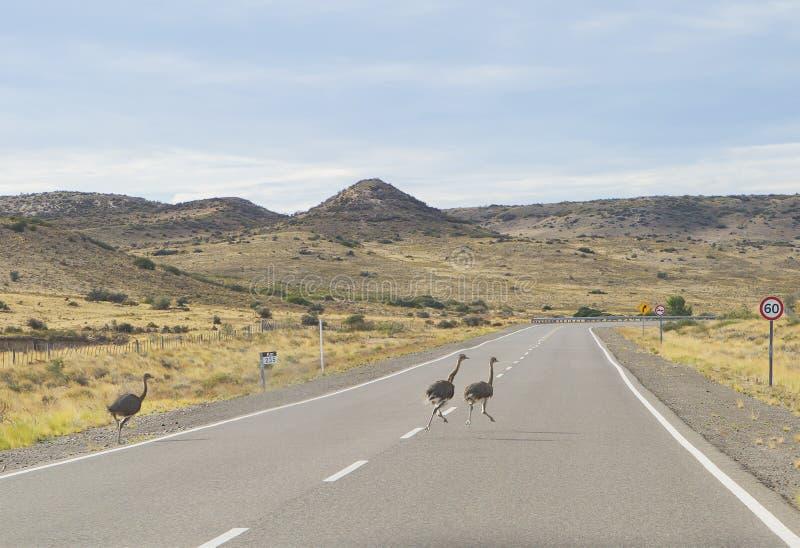 Puerto Madryn Argentinië Ostriches op de weg royalty-vrije stock foto