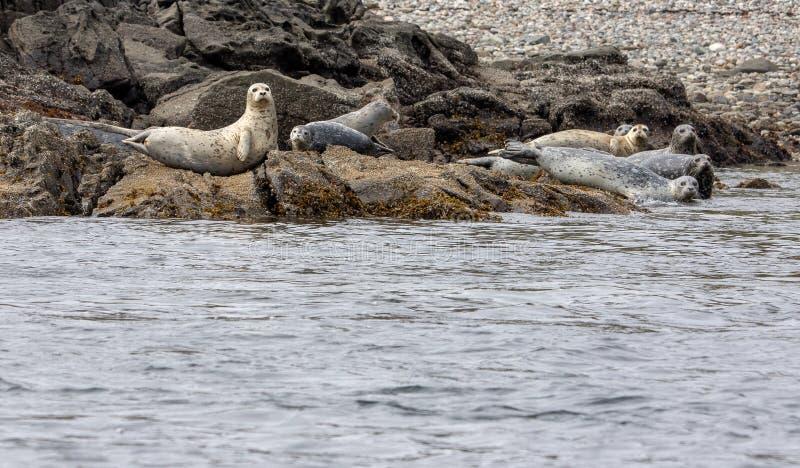 Puerto o sellos comunes que descansan sobre la costa costa rocosa imagen de archivo libre de regalías
