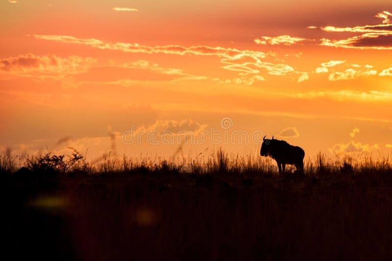 Puesta del sol africana con el ñu, Suráfrica fotografía de archivo