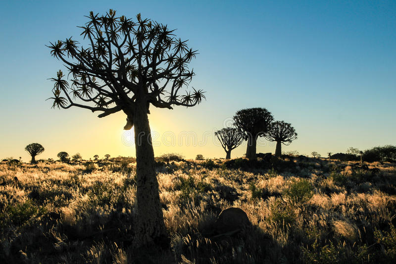 Puesta del sol africana hermosa con los árboles silueteados del estremecimiento y la hierba iluminada foto de archivo libre de regalías
