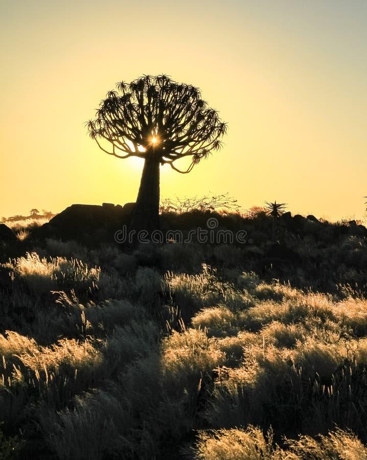 Puesta del sol africana hermosa con los árboles silueteados del estremecimiento y la hierba iluminada fotografía de archivo