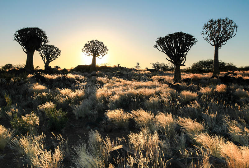 Puesta del sol africana hermosa con los árboles silueteados del estremecimiento y la hierba iluminada imágenes de archivo libres de regalías