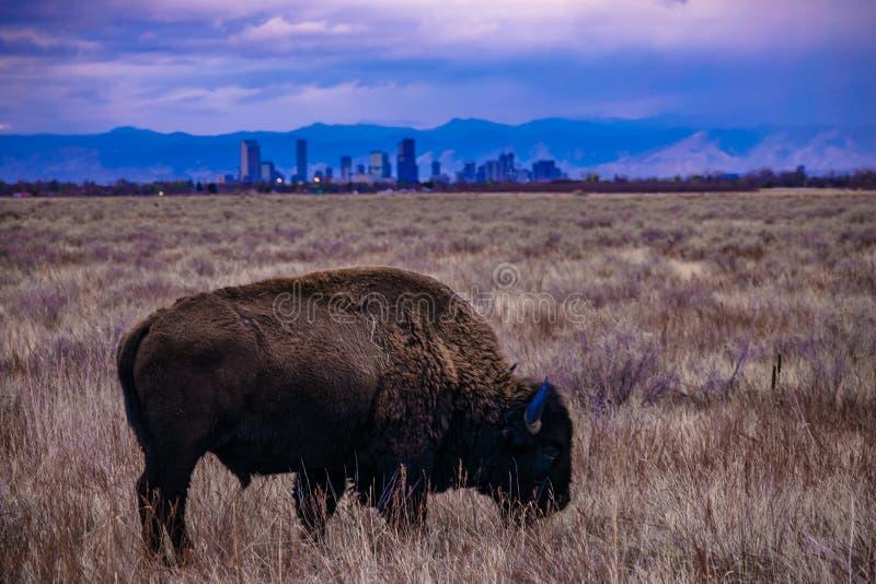 Puesta del sol del búfalo en Denver, Colorado fotos de archivo libres de regalías
