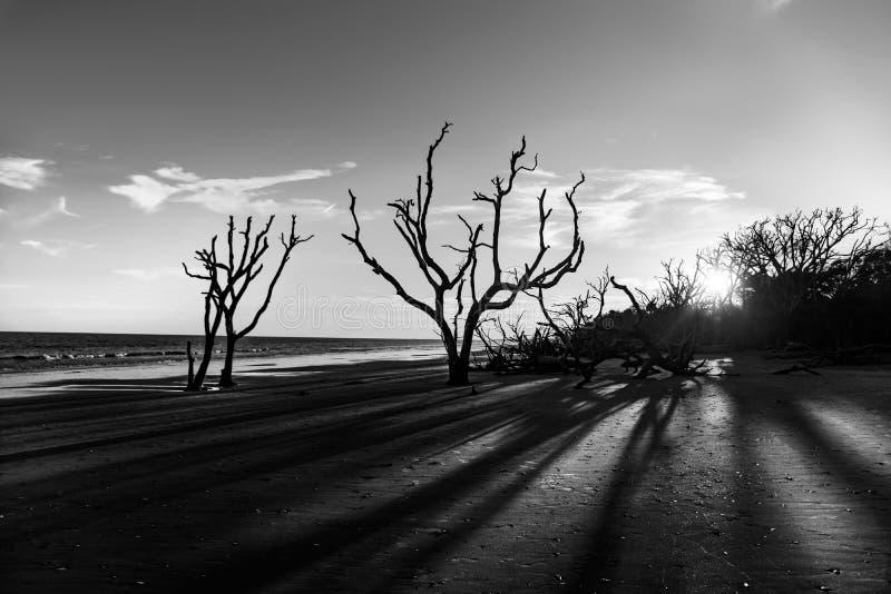 Puesta del sol blanco y negro de la madera de deriva en la plantación de la bahía de la botánica fotografía de archivo libre de regalías
