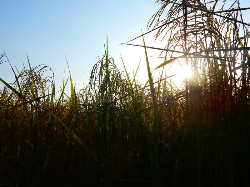 Puesta del sol del campo del arroz fotos de archivo