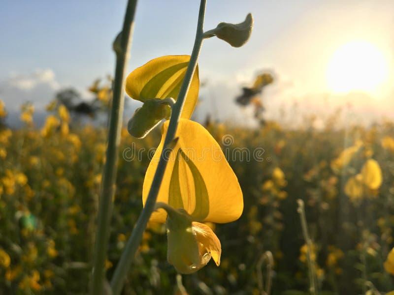 Puesta del sol 1 del campo de flor de la crotalaria fotografía de archivo