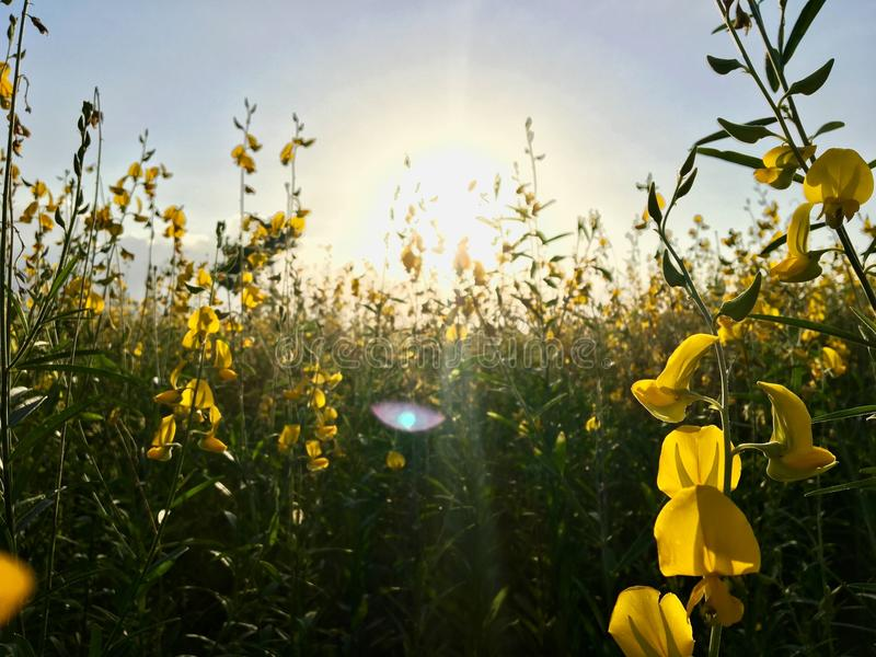 Puesta del sol 2 del campo de flor de la crotalaria imagen de archivo