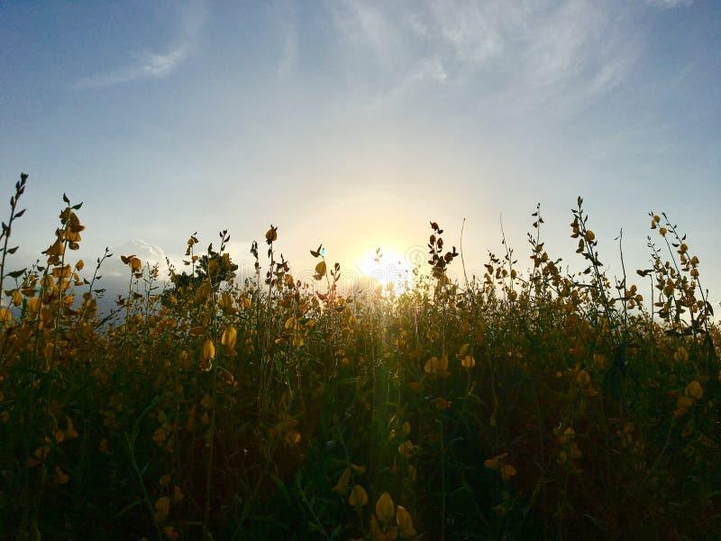 Puesta del sol 3 del campo de flor de la crotalaria fotos de archivo