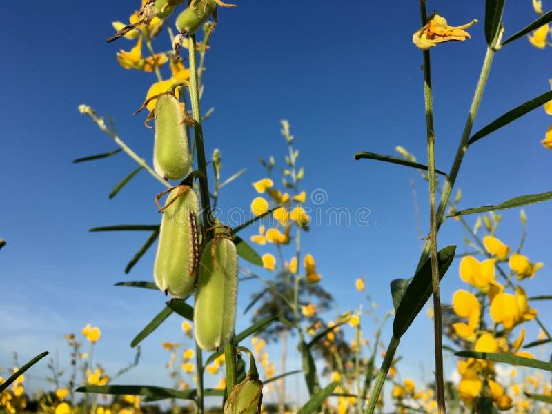Puesta del sol 5 del campo de flor de la crotalaria fotos de archivo