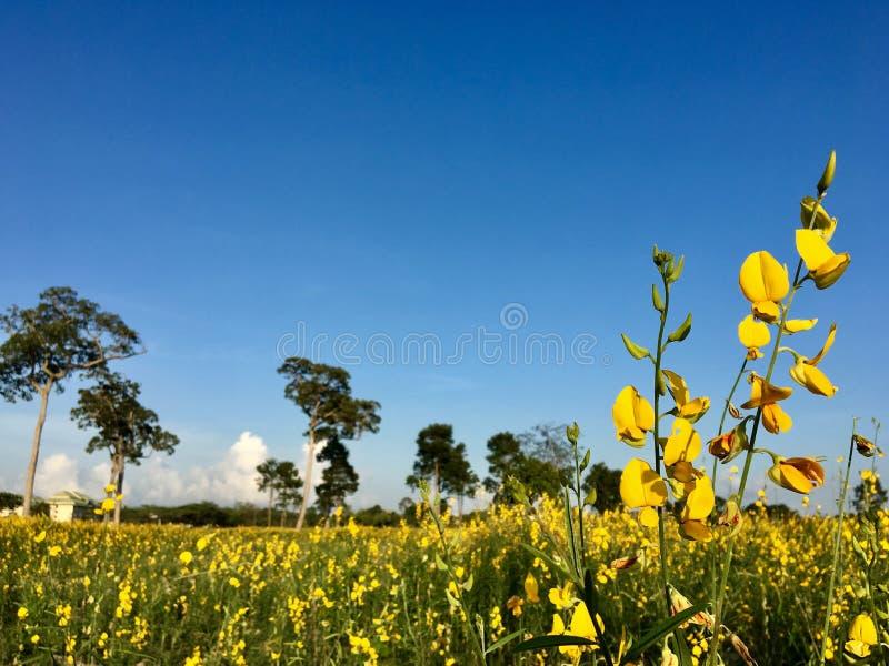 Puesta del sol 6 del campo de flor de la crotalaria imágenes de archivo libres de regalías