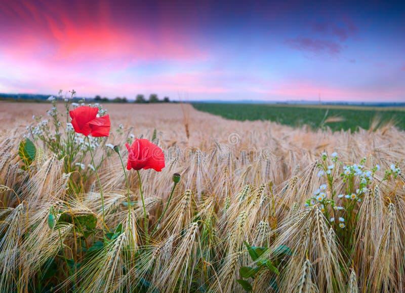 Puesta del sol colorida del verano en campo de trigo con las amapolas y las margaritas foto de archivo