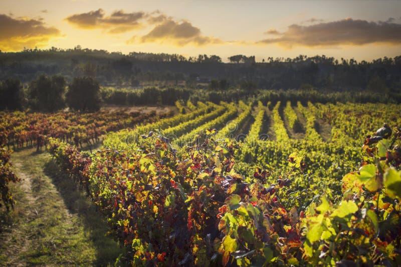 Puesta del sol con el cielo dramático sobre la plantación del viñedo con las hojas secas, amarillas Fondo hermoso con el espacio  imagenes de archivo