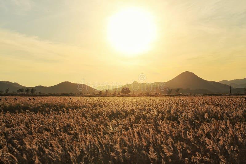Puesta del sol contra la hierba de plata imagenes de archivo
