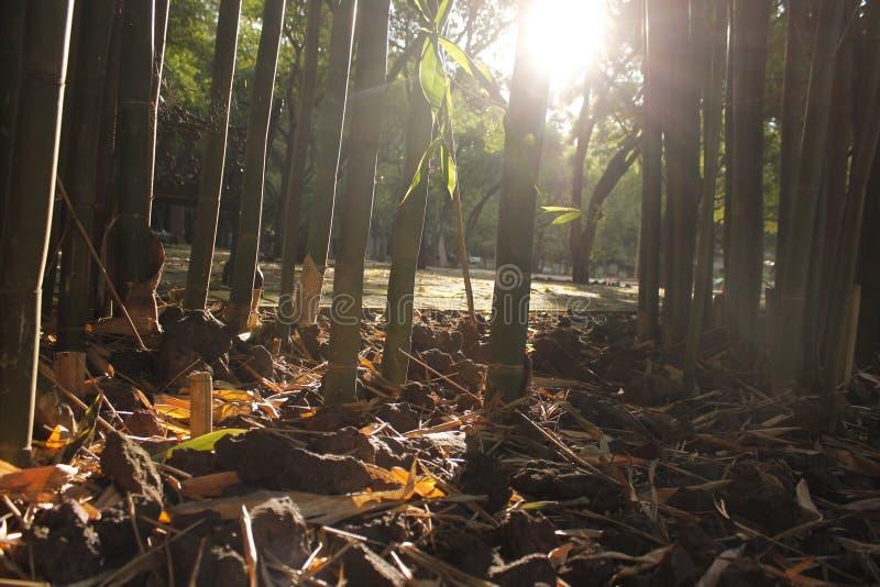 Puesta del sol de bambú fotografía de archivo libre de regalías