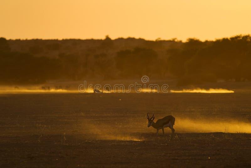 Puesta del sol de Kalahari con la gacela fotografía de archivo