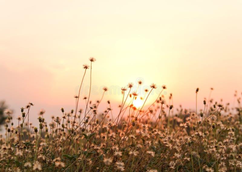 Puesta del sol de la flor de la hierba imagen de archivo