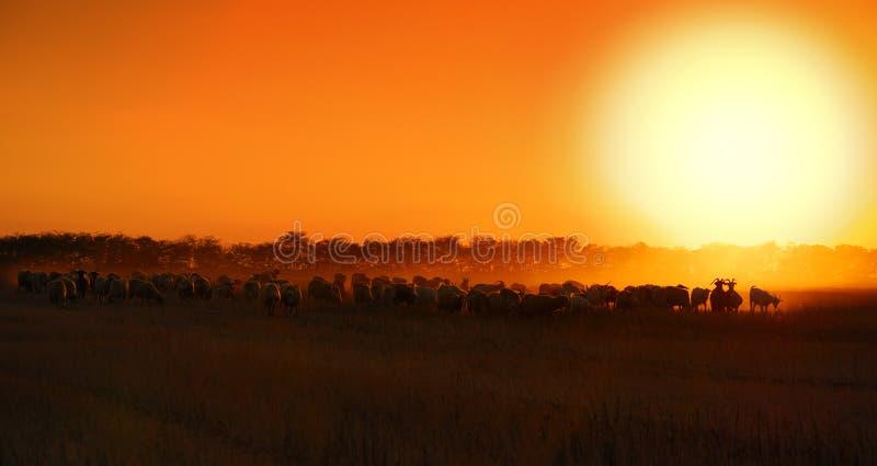 Puesta del sol de las ovejas fotografía de archivo