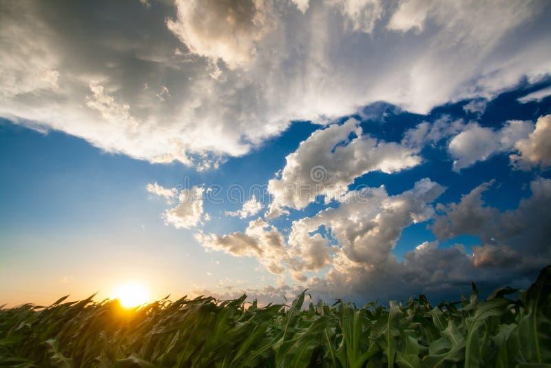 Puesta del sol de oro sobre un campo de maíz fotografía de archivo libre de regalías